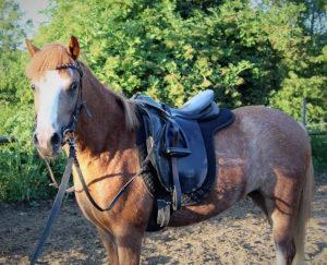 Welsh Ponys Stute Fuchs