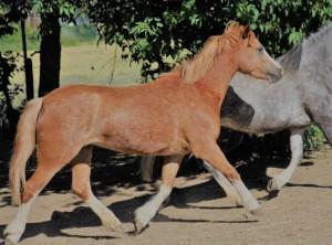 Welsh Mountain Pony Stute Fuchs Sektion A