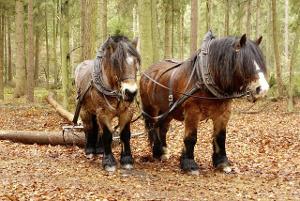 Bild Pfere-Zweigespann zieht Holz