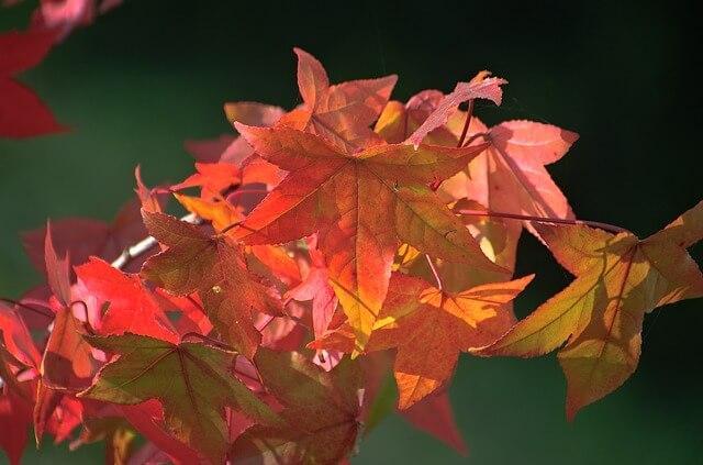 Blätter des Amberbaums