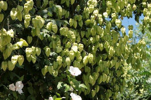 Samen des Blasenbaums