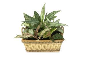 Dieffenbachia Zimmerpflanze
