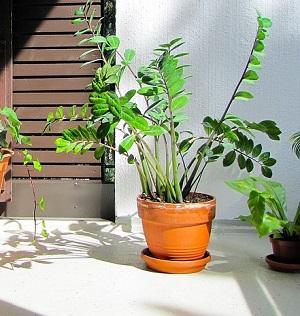 Pflanze Zamioculcas