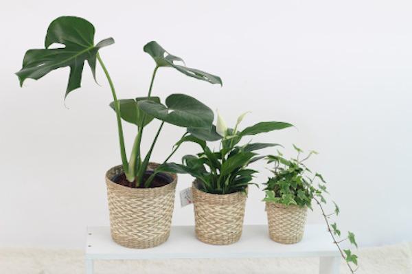 unterschiedlich große Topfpflanzen
