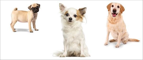 Top Ten der begehrtesten Hunderassen - Chihuahua ist Lieblingshund - Rottweiler auf Platz zehn
