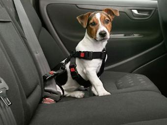 Hund in Auto Tierhaare