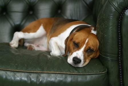 Hund auf Sofa alleine zuhause