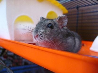 Hamster in Käfig