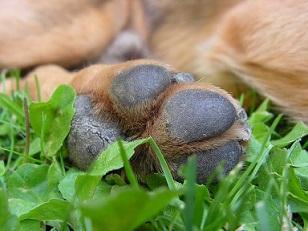 Gesundheitscheck beim Hund Pfoten und Krallen