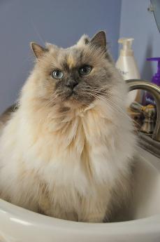 Manche Katzen mögen es, im Waschbecken ihre Pfoten abzukühlen.