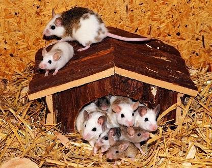 Viele Mäuse auf und in ihrem Häuschen
