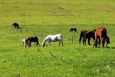 Fressende Pferde beim Weidegang