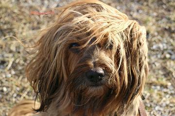 Eine Hunderasse gehört immer einer übergeordneten Rassegruppe an.