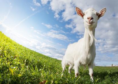 Ziege auf der Weide