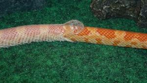 Schlangenhaltung Häutung