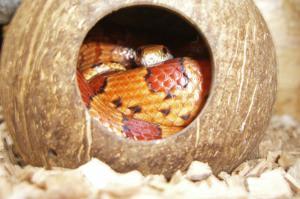 Schlangenhaltung Versteckmöglichkeiten Terrarium