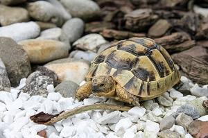 Breitrandschildkröte auf Steinen