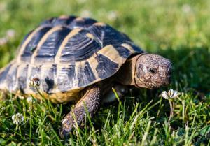 Landschildkröte auf einer Wiese