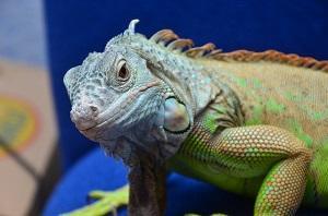 Bild Leguan Grün