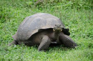 Galapagosschildkröte auf einer Wiese