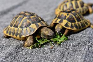 Zwei Schildkröten essen Salat