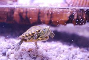 Wasserschildkröte im Aquarium