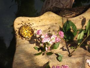 Bild Ameisen an Frucht auf Tisch