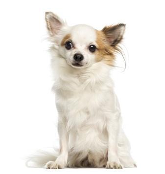Bild weißer Chihuahua