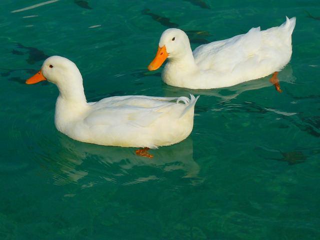 Bild Ente im Wasser