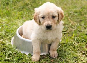 Bild Welpe als ersten Hund