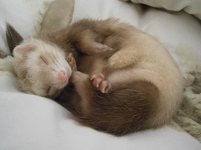 Schlafendes Frettchen