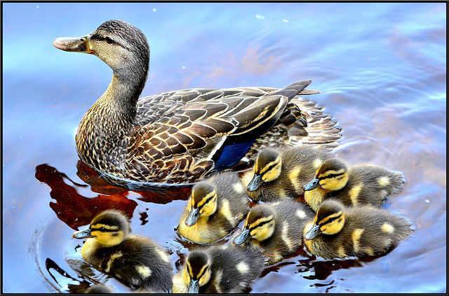 Bild ganze Entenfamilien