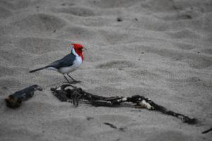 Graukardinal im Sand