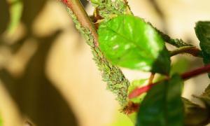 Grüne Blattläuse an Pflanze