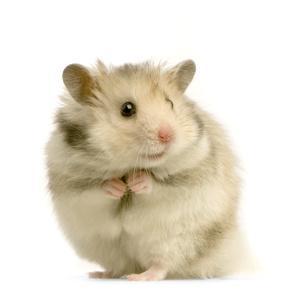 Bild hellbrauner Hamster