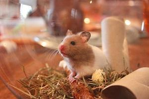 Hamster Gold