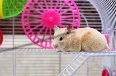Bild Hamster vor Laufrad