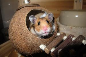 Hamster in Kokosnuss