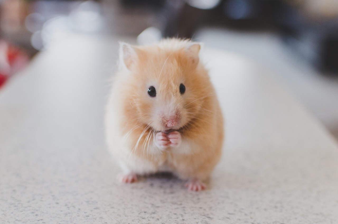 Bild Hamster genügend Auslauf
