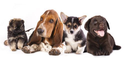 Bild vier verschiedene Hunderassen