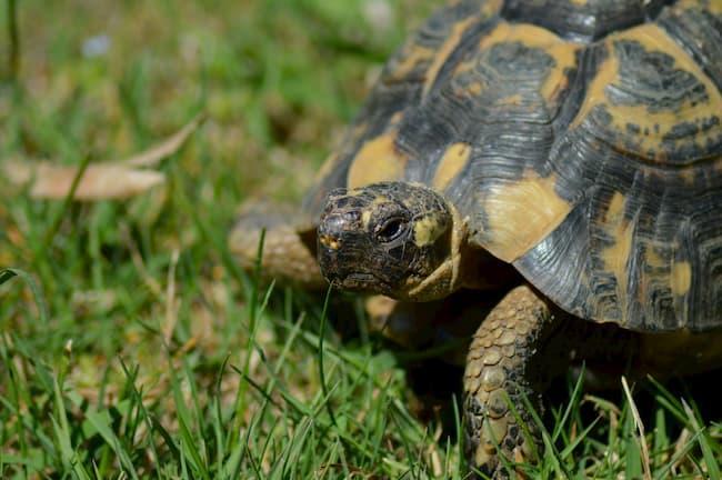 Nahaufnahme einer maurischen Landschildkröte