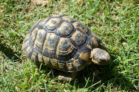 Maurische Landschildkröte auf der Wiese