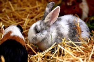 Meerschweinchen und Kaninchen halten