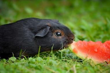 Meerschweinchen frisst Wassermelone