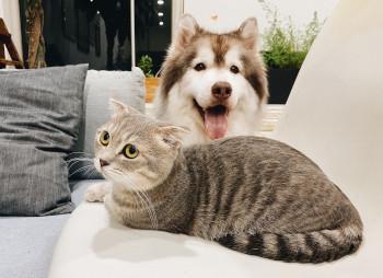 Pomsky und Scottish Fold sind Beispiele für Qualzucht bei Hund und Katze