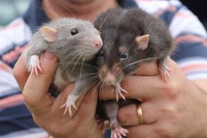 Ratten Haustiere Kosten