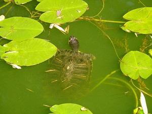 Schildkröte im Wasser
