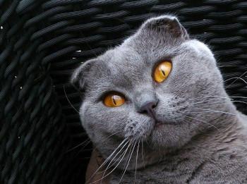 Scottish Fold gilt als Qualzucht bei Katzen