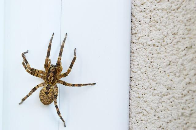Spinne an Hauswand