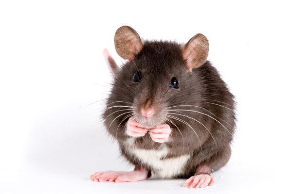 stehende Maus